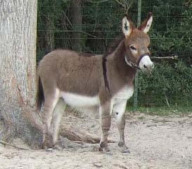 mini donkey foal